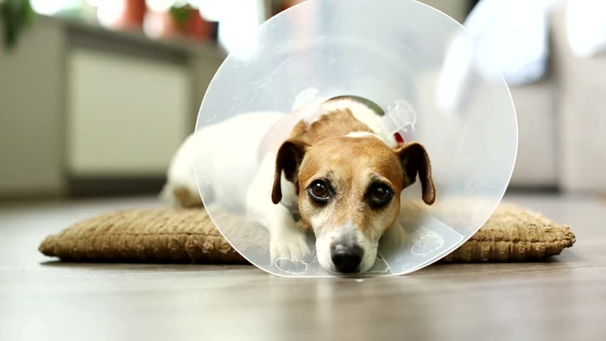 Video dog jack russell terrier lying on a bed pillow in the vet collar. Sick tired of struggling with sleep, eyes closing. Tranquil scene. Inside apartment with gray floor. Shallow depth of field
