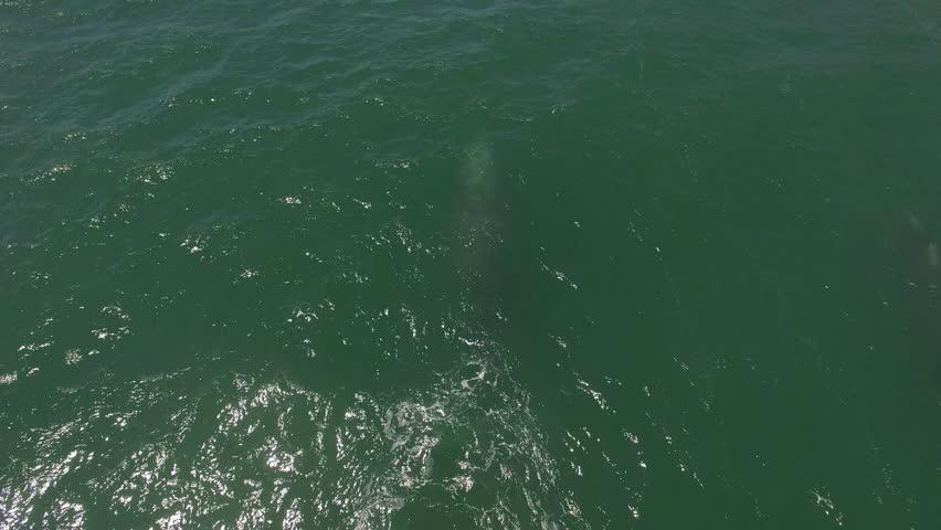 CALIFORNIA - CIRCA 2010s - An aerial over a California gray whale migrating.
