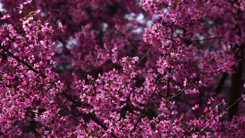 Spring Cherry blossoms, pink flowers in Dalat, Vietnam. #1006620268