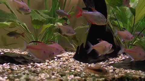 Diamond and Black phantom tetra aquarium fish underwater footage
