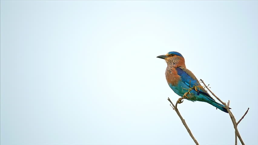 Slow motion video of Indian Roller bird flying from branch and flapping with colorful wings in Yala national park in Sri Lanka