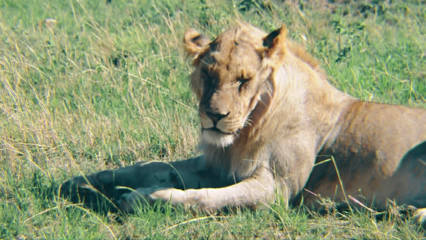 Lioness in the Sun on the Serengeti #1006754488