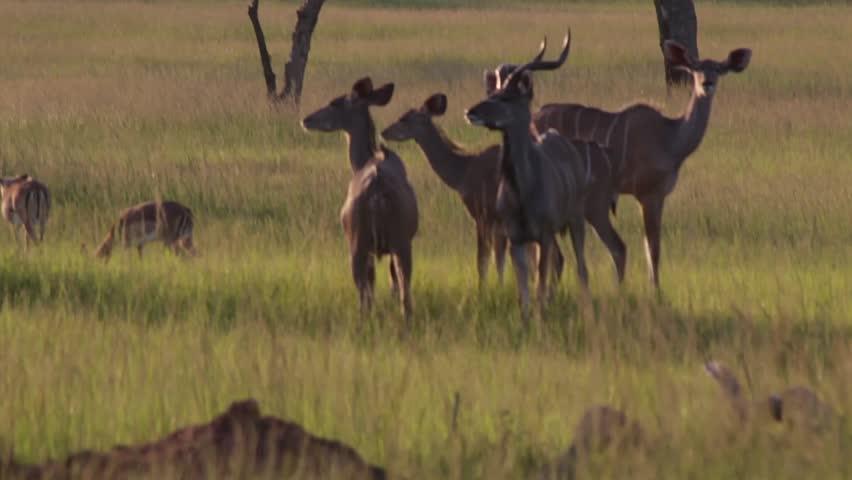 Medium shot of Wild Kudu in the bushveld grazing