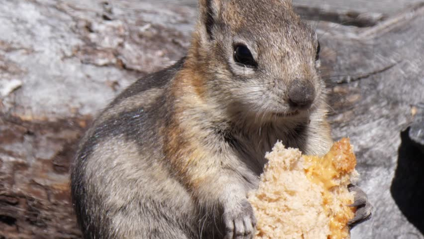 A slow motion shot of a chipmunk eating a left over peanut butter sandwich in the wild