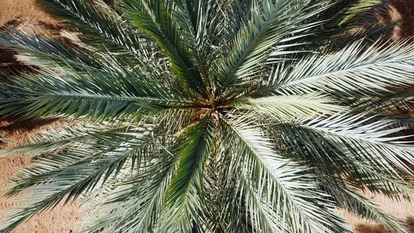 Aerial footage of Date palms plantation in the desert