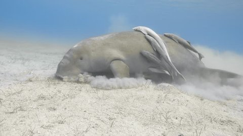 Wild dugong (sea cow) eating on the sand sea bottom underwater, 4K ultra hd video footage