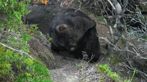 Common Wombat scratch back and walk on mountain path