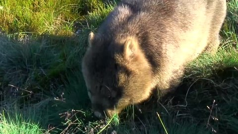 Common Wombat eat grass on the mountain plains close