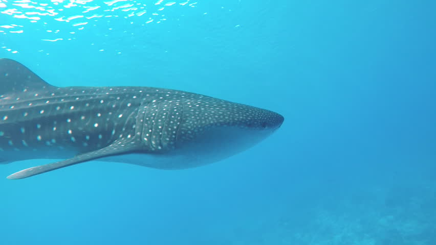 Snorkeling withe the gentle Whale Shark floating through the blue warm Indian Ocean at the Maldives.  | Shutterstock HD Video #1006872298