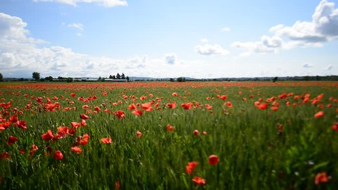 Poppies in a rural field during a sunny day.