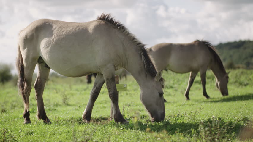 two light brown wild konik horses are grazing in a field on a summer day in Utrechts landscape in the Netherlands shot