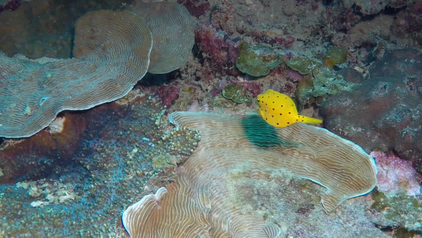 Yellow boxfish (Ostracion cubicus) swimming over coral reef slow motion