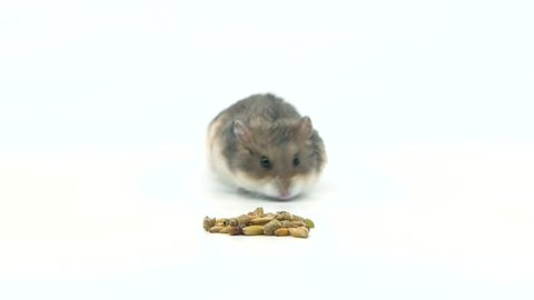 Small grey hamster stuffs her pouch full of treats and leaves some behind.