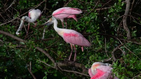 Roseate Spoonbills preening and getting ready for mating season.
