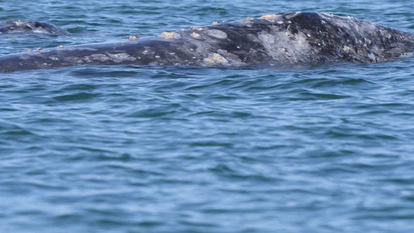 grey whale in baja california