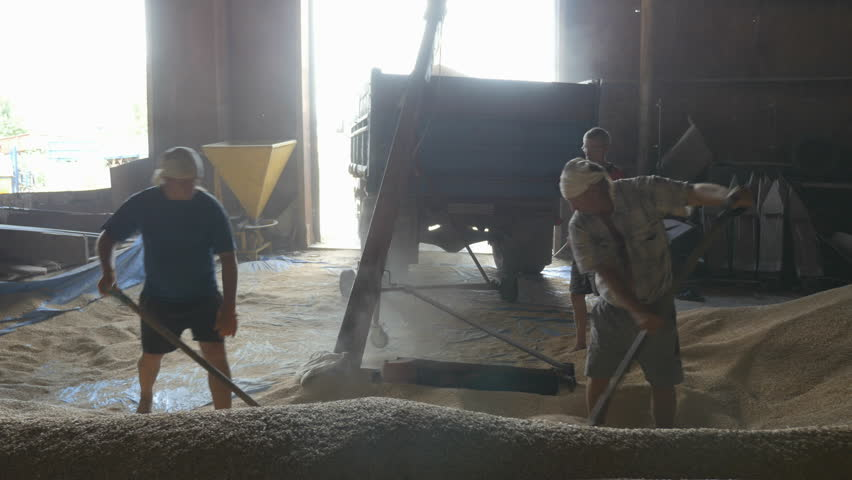 Farmers workers pours the wheat grain in the grain loader. Works grain loader  | Shutterstock HD Video #1007000248