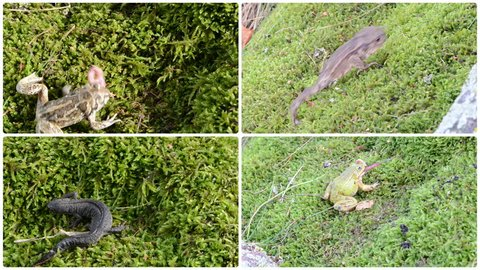 Toad, frogs and newt triton. Amphibia animals walking and eating worm on moss. Montage of video footage clips collage. Split screen. White round corner frame. 4K UHD 2160p