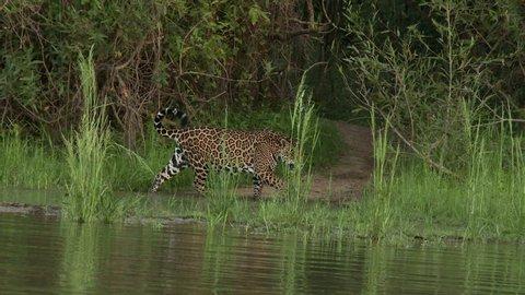 Jaguar (Panthera onca)  walking on riverbank chasing away annoying flies  in the Pantanal wetlands, Brazil.