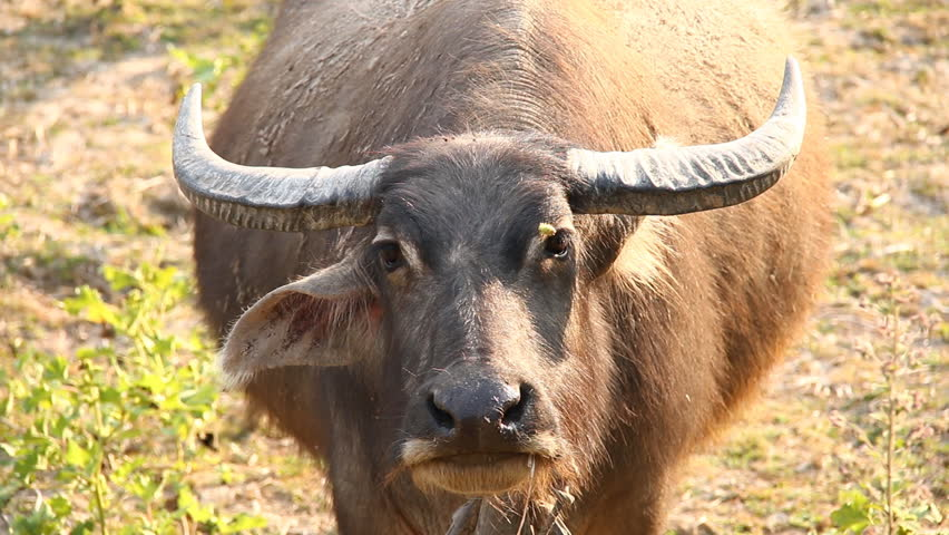 Thai buffalo looking camera in field | Shutterstock HD Video #1007143438