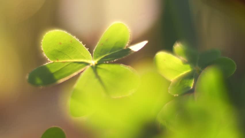 Clover leaf macro closeup, backlit by sunset light in background. Shallow DOF. 4K UHD.