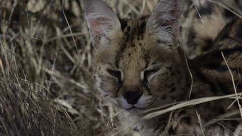 Serval close up relaxing in the tall grass hot afternoon