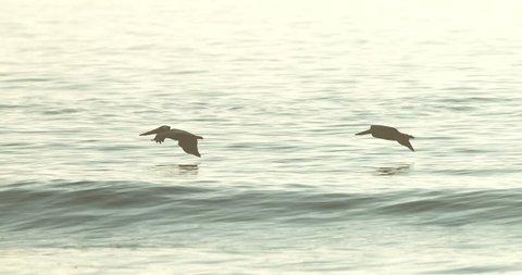 Pelican in flight super slow motion 4K