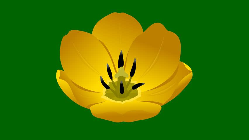 Flowers Yellow Tulip. Hand drawn animation bud of tulip. 3 looped animation