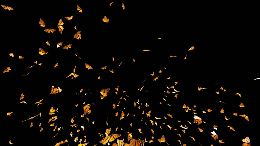 Butterfly Swarm, Slow motion flying of Monarch Butterfly , isolated on black background best for fashion sale or summer background with alpha matte mask loop.