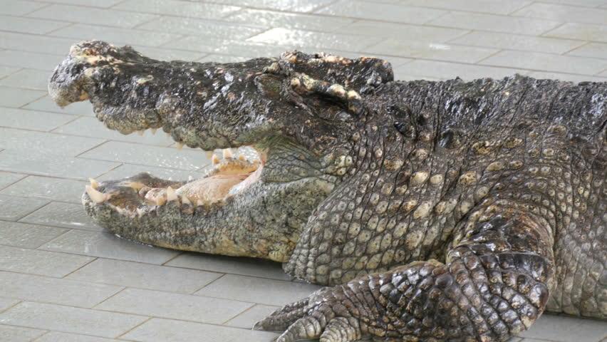 Large adult crocodiles on a crocodile farm. Crocodiles lie in the pool  before the performance.