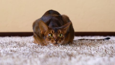 Funny abyssinian cat playing on carpet. Big scared eyes