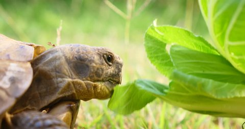 tortoise Turtle Testudo hermanni hermann's eats watermelon and green leaves cute endangered animal tropical wildlife eating fruit close up