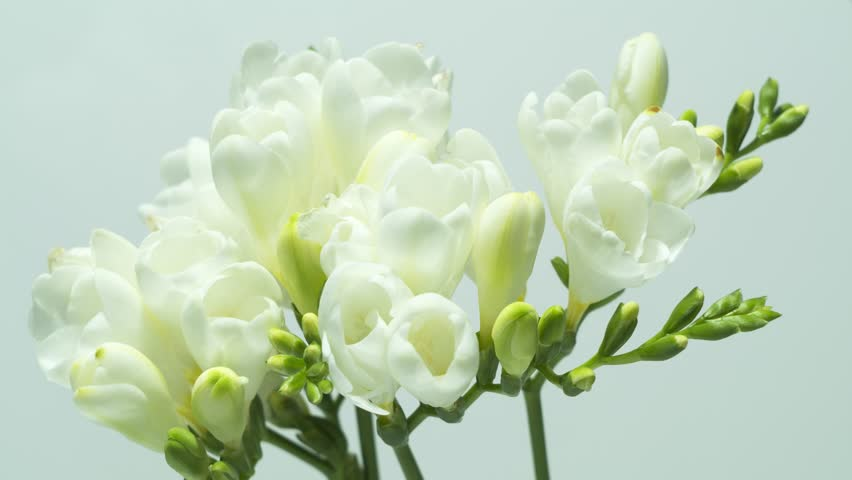 Freesia flower stock video footage 4k and hd video clips beautiful fraesia flowers blooming time lapse mightylinksfo