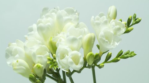 White Freesia Flower Stock Video Footage 4k And Hd Video Clips