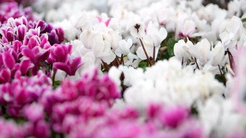 Pulling focus of white cyclamen to pink cyclamen in flower field.