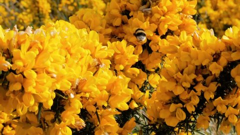 Bee is fling around yellow flowers at Muckross Lake, Lakes of Killarney, Killarney National Park, County Kerry, Ireland