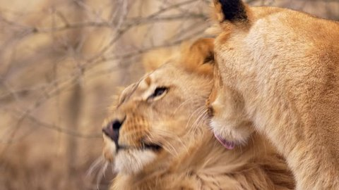 Southwest African lion snuggling