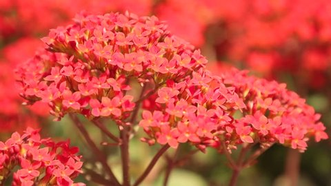 Kalanchoe ornamental flowers vibrant red being blown in the wind, high definition movie clip stock footage.