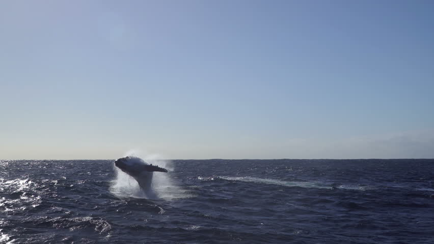 Humpback whale tail slapping water few times , View of waves of the ocean