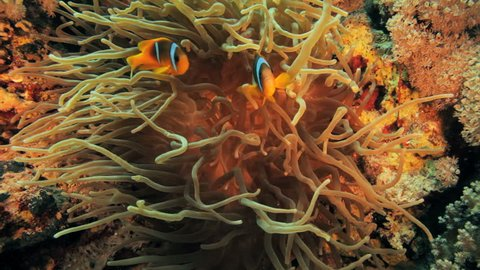 clown fish sitting on the anemone