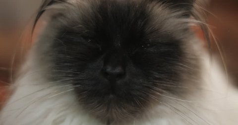 Extreme close up of ragdoll cat with blue eyes falling asleep