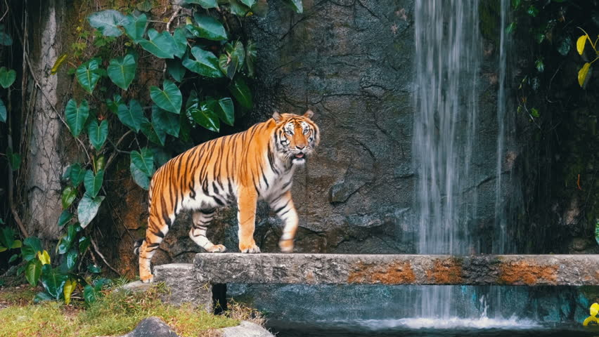 The tiger walks on the rock near the waterfall. Khao Kheow Open Zoo. Thailand. Bengal Tiger in deep wild, animal. Jungle concept.