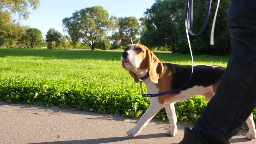 Young beagle stroll at park path alongside with owner legs, tracking slow motion shot. Cute doggy walk with tail in air, sniff ground and look ahead. Man pace near, hold loose leash