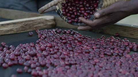 Pouring ripe coffee cherries onto a drying bed in Ethiopia.