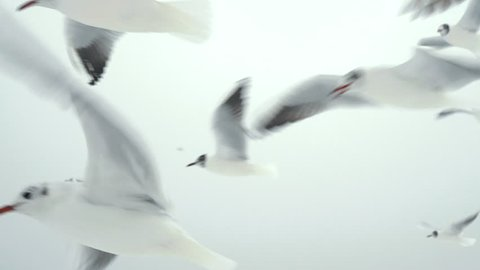 Many hungry Seagulls Flying in the Air and Catch Food pieces of bread on White Sky Background. Winter time.