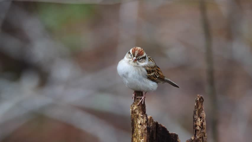 Close up of Chipping Sparrow perched on tree. The chipping sparrow is a species of American sparrow, a passerine bird. It is widespread, fairly tame, and common across most