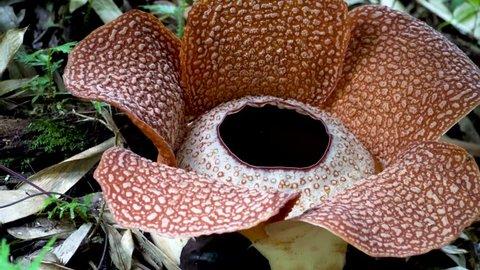 Rafflesia Keithii Flower