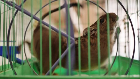 Chilean squirrel spinning in the wheel in its cage.