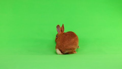rabbit ( six months) of six months moves on a green background