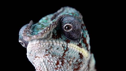 Panther Chameleon looking around.