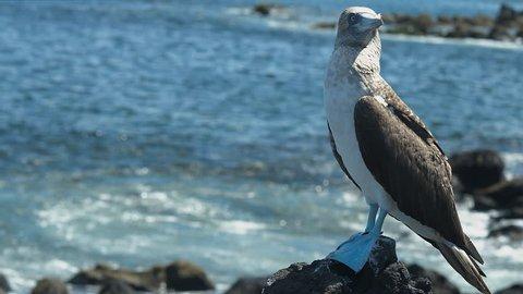 Galapagos boobie bird blue foot